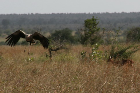 Secretary bird and dinner